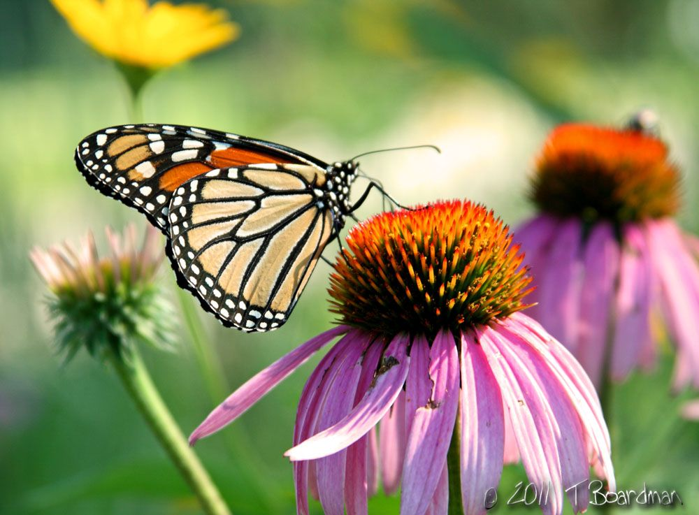 butterfly and cone flower
