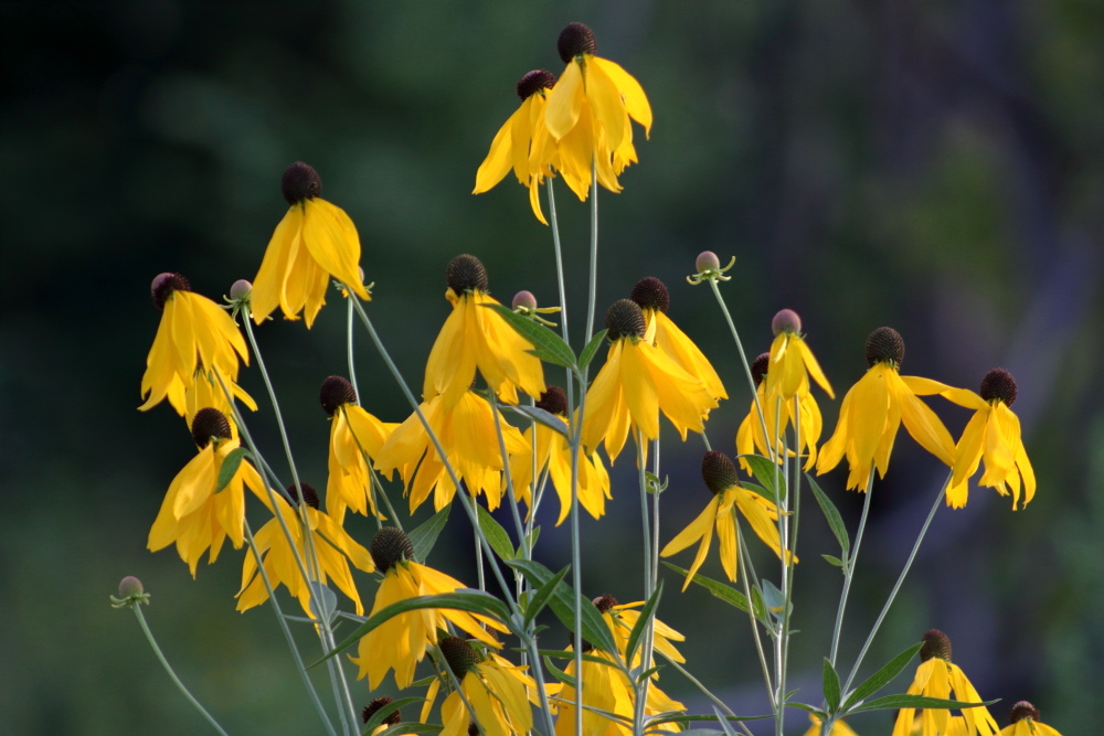 Yellow Cone Flowers - LilyDale Park